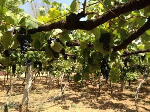Gover Vineyards view underneath pergola