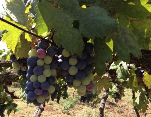 Grover Vineyard uneven ripening 2