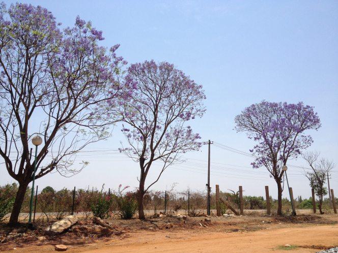 Grover Vineyard wisteria