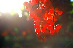 Grace Wine Koshu Berries