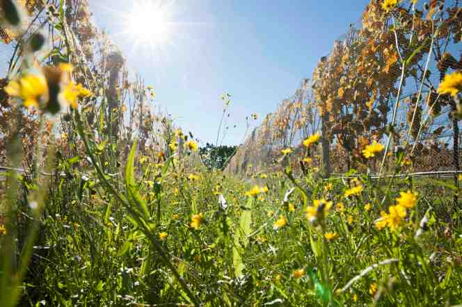 Pegasus Bay sustainable vineyard