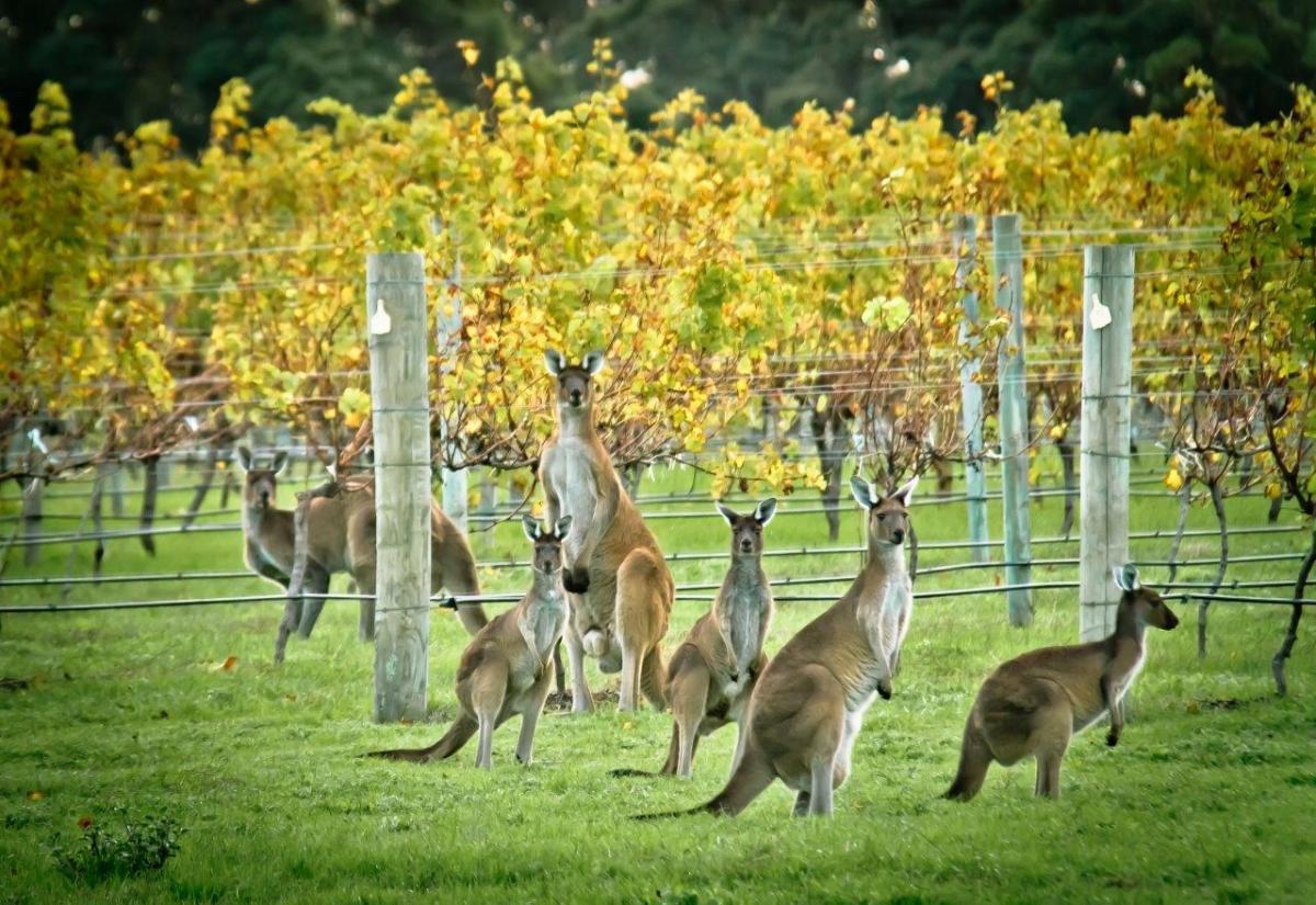 Australia: Chardonnay - Kevin John, Cullen Wines