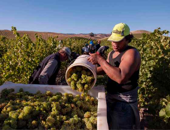 GREYWACKE - YARRUM VINEYARD, BEN MORVEN VALLEY, SB HARVEST cropped