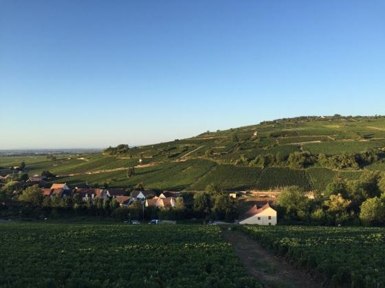 Pommard, Burgundy. Harvest 2015, credit Lauren McPhate.