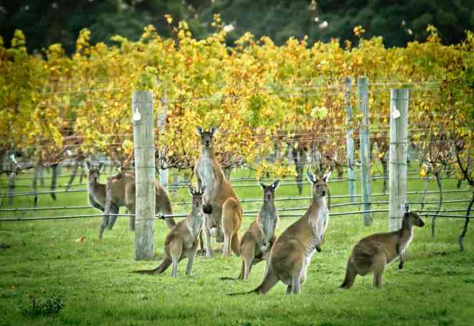 Roos in Margaret River Image by Sean Blocksidge (Margaret River Discovery Co). low res