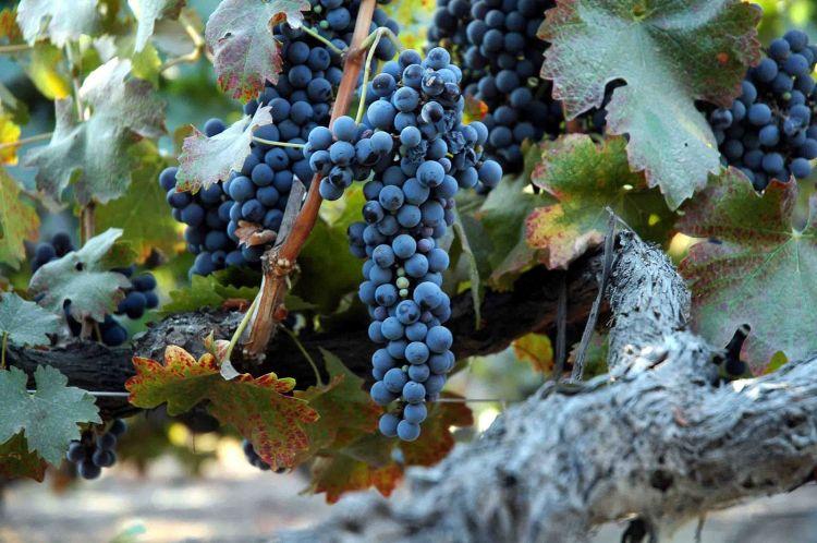 grape_of_old_vine_shiraz_-wikipedia